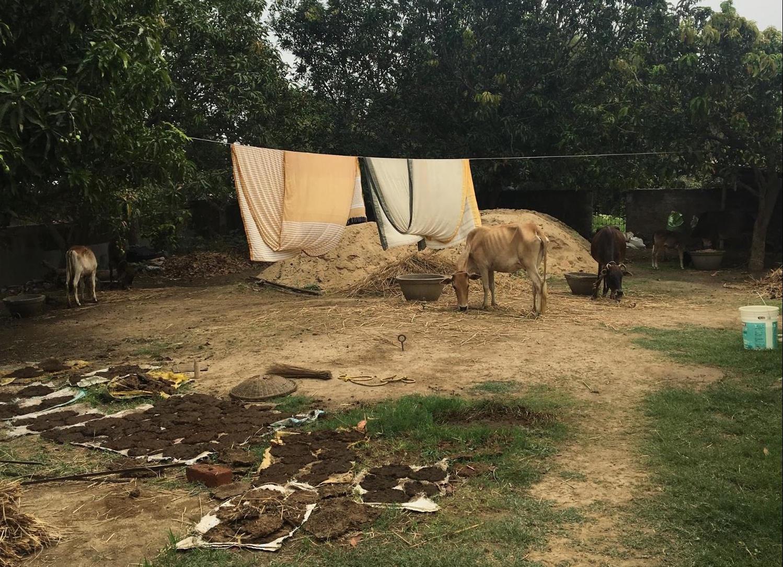 ベンガルの牛